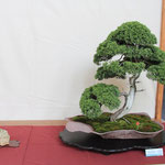 43 Juniperus chinensis - Amici del Bonsai Castellanza