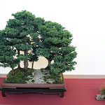 54 Cryptomeria japonica - Arte Bonsai Club Novara
