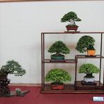 15 Conposizione shohin - Sesia Bonsai Club