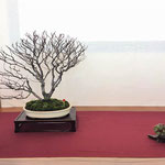 37 Faggio (fagus sylvatica) - Bonsai Club Somma