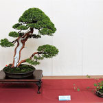 7 Juniperus chinensis - Bonsai Club Rivalta