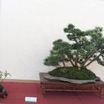 36 Bosco di pino mugo - Circolo Bonsai Lecco