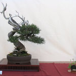 12 Pino Mugo - Bonsai Club Ticino