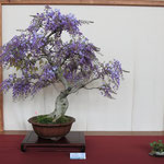 10 Glicine - Bonsai Club Verbania