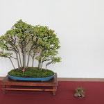 35 Acer buergerianum - Circolo Bonsai Lecco