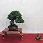 26 Pino parviflora v. pentaphilla - Bonsai Club Laudense