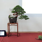 51 Juniperus chinensis - Brianza Bonsai