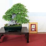 48 Ostrya carpinifolia - Studio Botanico