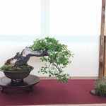 40 Prunus avium - Associazione Bonsai il Moro