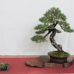 2 Pino thumbergii - Bonsai Club Amici del Verde