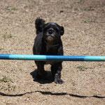 Koki's Hund ist im Parcours..