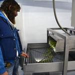 Wachsam begleitet Pro jede seiner Oliven auf dem Weg zum Olivenöl. Auch in der Mühle kann vieles schief gehen.