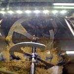 ... und dann wird die Olivenpaste lange geknetet und gerührt - möglichst kein Sauerstoff, max. 24-27°C - obwohl sonst die Ölausbeute höher wäre.