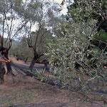 Unsere Netze liegen immer nur unter dem Baum, der gerade gepflückt wird. Die Netze liegen nicht schon Wochen vorher, um alle Oliven aufzufangen, die von selbst herunter fallen, denn diese Oliven kommen nicht in unser Öl.