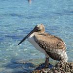 Pellicano Grigio in migrazione, isola di Karpathos mese di Settembre