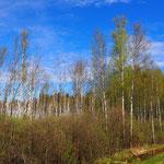 endlose Birkenwälder