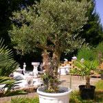 Olivenbaum ca. 250 cm hoch