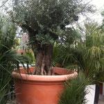 XXL Olivenbaum