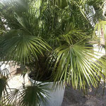 Chamerops Humilis Palme