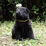 4 Wochen alt, Rüde gelb