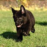 7,5 Wochen alt, Raddog, (grau)