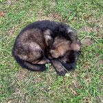 5,5 Wochen alt, graue Hündin
