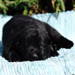 12 Tage alt, schwarzer Rüde