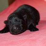 5 Tage alt, schwarze Rüde 1