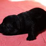 5 Tage alt, schwarze Rüde 3
