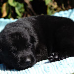 12 Tage alt, schwarze Hündin
