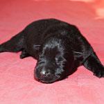 5 Tage alt, schwarze Hündin