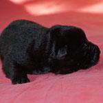 5 Tage alt, schwarze Rüde 2