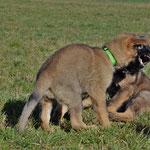 9 Wochen alt, letztes gemeinsames Spiel, Kiwi und Kyano