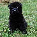 4,5 Wochen alt, Rüde grau
