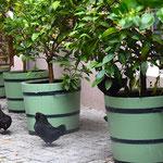 Potsdam: Orangeriekübel mit Zwerghühnern