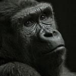 Gorilla (Zoo Zürich)