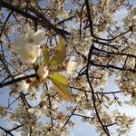 Ein wunderschönes Blütenmeer - überall in Werder!