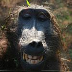 Bären Pavian (Baboon)