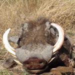 Warzenschwein, Keiler, Warthog