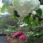 """白い花が""""オオデマリ"""" *赤いのは""""ツツジ"""""""