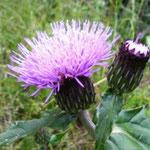 """アザミ。似ている花に""""タムラソウ""""があります。違いは""""トゲ""""の有無。トゲのある方が""""アザミ""""です。"""