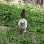 Die Katzenmama, eine Ragdoll, kommt auf uns zugelaufen ...