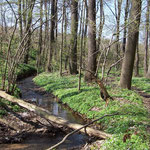 Auf der Strecke durch den Röhrsdorfer Grund blühten massenhaft die Buschwindröschen ...