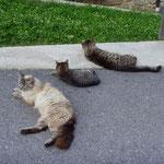 Familie Katze liegt gemeinsam rum ...