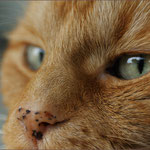 Die Nase vom Kater Felix ...