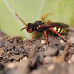 Eine andere, sehr ähnliche Wespenbiene (Nomada bifasciata)