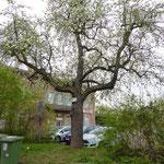 Birnbaum beim Bahnhof Korntal