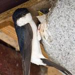 Mehlschwalbe am Nest (Foto NABU/Lessenich)