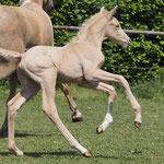 palomino colt 2018 by Zafferano