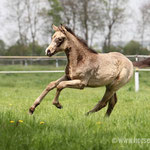 buckslkin filly 2016 by Rock Forever